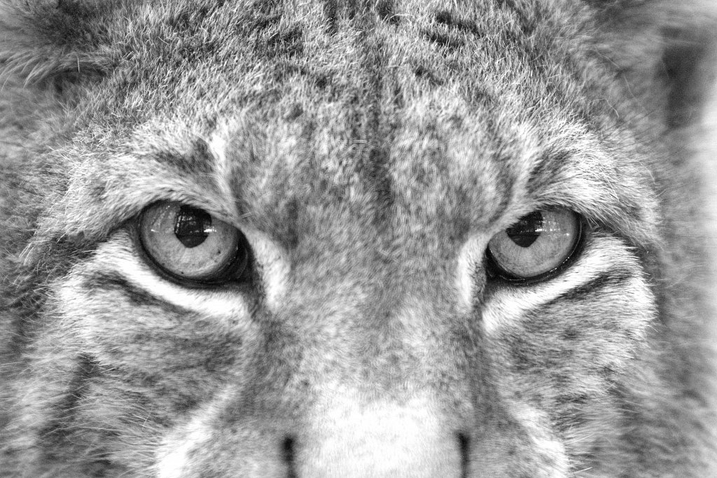 lynx lynx [2]