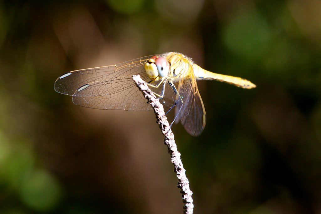 dragonfly [2]